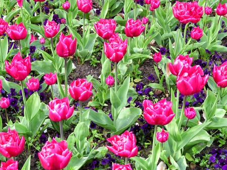 a view of colored tulips photo