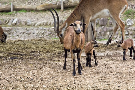 wild goat: a view of some wild goat