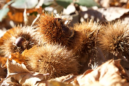 marron: a view of some chestnut