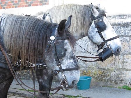 terrestrial mammal: a detail of a gig horse