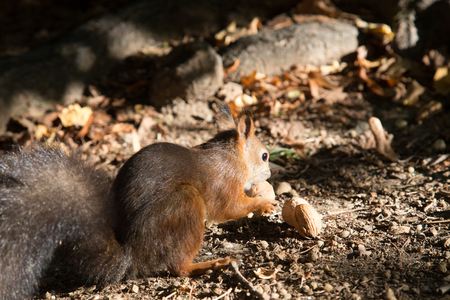 a view of a curious red squirrel