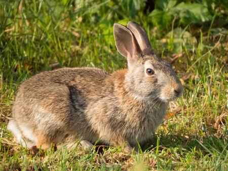 lapin: un curieux petit lapin Banque d'images