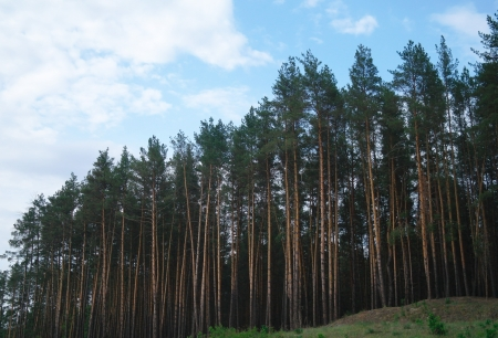 pine forest under cloudy blue sky in mountain Carpathians photo