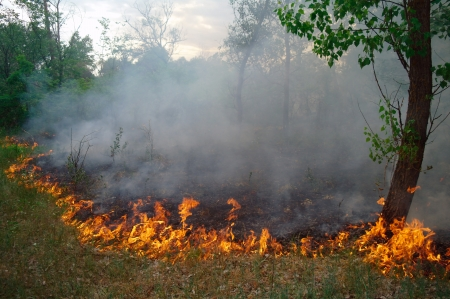 Fuego ardiendo en un bosque de pinos photo