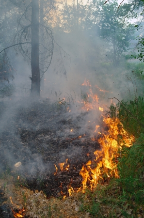 Fire burning in a pine forest photo