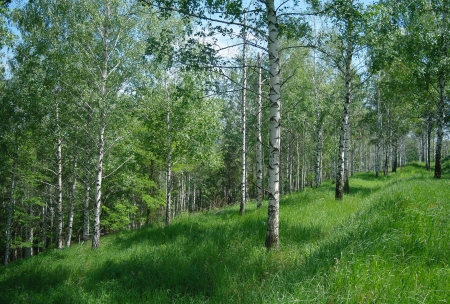 Spring green birch forest may  Ukraine photo