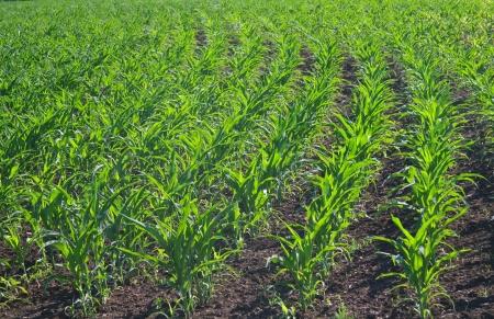Green corn field photo