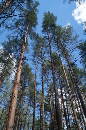 pine forest under cloudy blue sky  photo