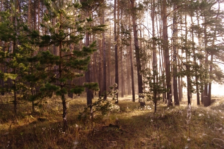 Coniferous forest illuminated by the morning sun on a foggy autumn day Stock Photo - 16404282