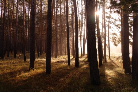Coniferous forest illuminated by the morning sun on a foggy autumn day   Stock Photo - 16404269