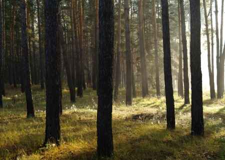 Coniferous forest illuminated by the morning sun on a foggy autumn day   Stock Photo - 16404264