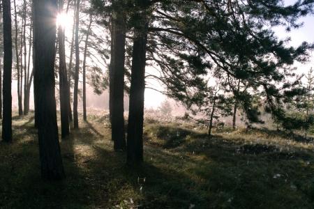 Barrskog upplyst av morgonsolen på en dimmig höstdag