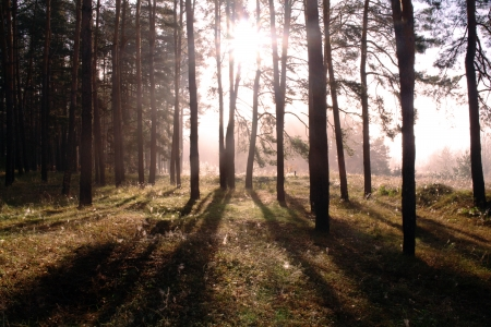 Coniferous forest illuminated by the morning sun on a foggy autumn day   Stock Photo - 16404267