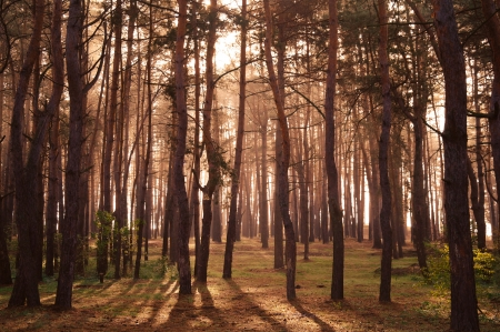 Coniferous forest illuminated by the morning sun on a foggy autumn day   Stock Photo - 16404279