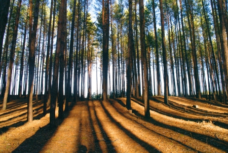 Coniferous forest illuminated by the morning sun on a foggy autumn day   Stock Photo