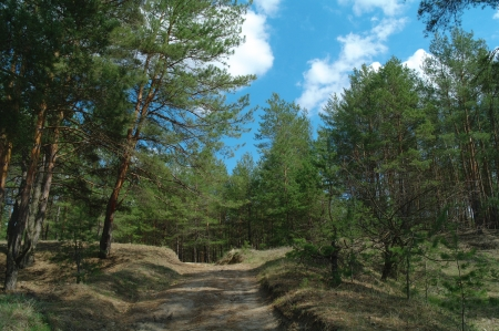 Coniferous forest photo