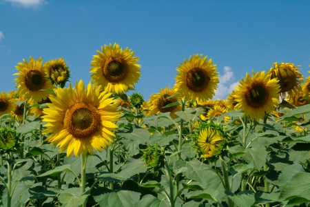 sunflower field and cloudy sky photo