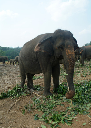 Elephants in Sri Lanka photo