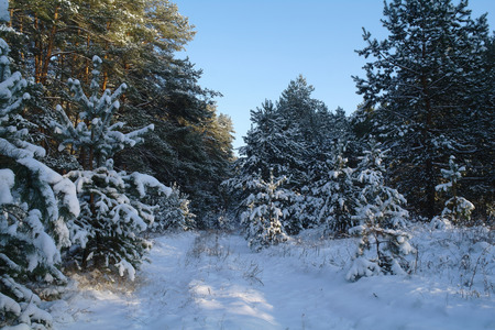 frosty morning: Magic sunrise in the snowy forest Stock Photo