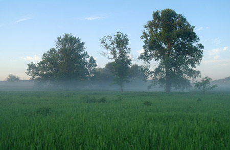 arbol roble: Primavera prado brumoso en la salida del sol