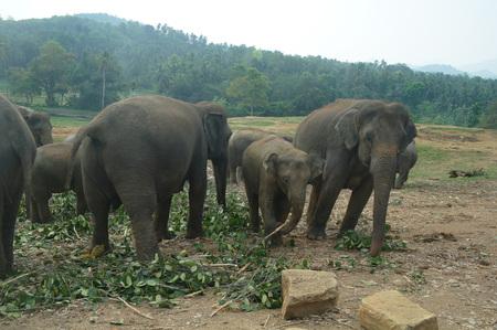 kandy: Elephants in Kandy, Sri Lanka