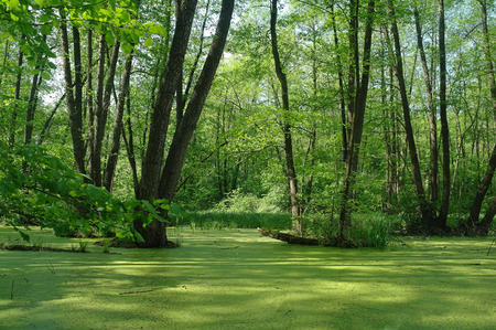 swampy: Lake in a wood green and trees.