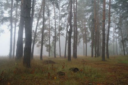 nus: Pines in the forest with misty morning.