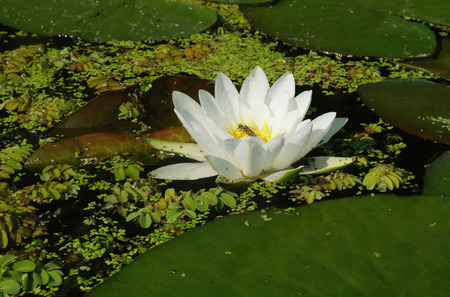 Beautiful white flowers of water lilies. Stock Photo