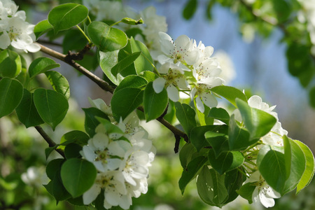 Blooming branch of pear tree in spring.