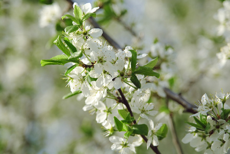 Blooming tree in spring time.