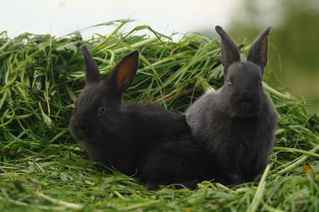 Black baby rabbits on green grass.