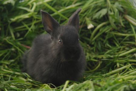 Black baby rabbit on green grass.