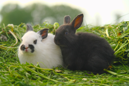 Black and white baby rabbits on green grass.