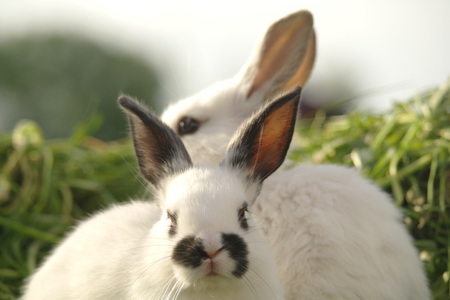 white baby rabbits on green grass.