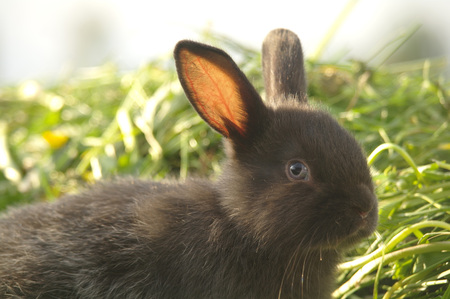 Black rabbit on green grass.