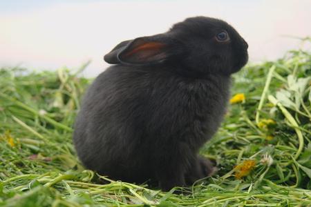 Black rabbit on green grass Stock Photo