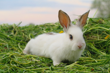 White baby rabbit on the grass.
