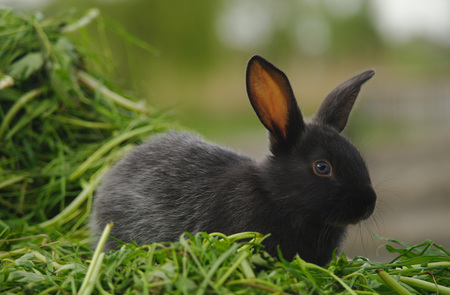 lapin: Lapin bébé noir sur l'herbe verte. Banque d'images
