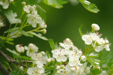 Beautiful branch of a blossoming hawthorn. Stock Photo