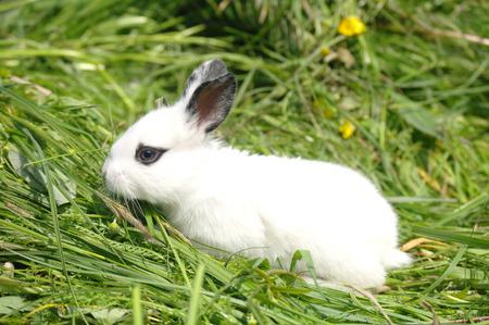 lapin: Lapin bébé blanc sur l'herbe. Banque d'images