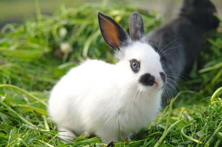lapins blancs et noirs sur l'herbe. fermer.