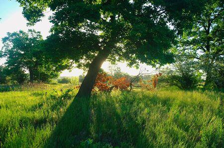 Słoneczny poranek na leśnej polanie.