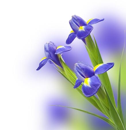 beautiful iris flower isolated on white background photo