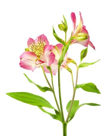 白で隔離され、ピンク色の花のマクロ撮影 写真素材