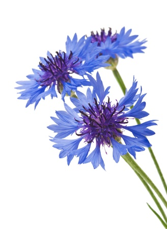 wildflowers: bouquet of cornflowers isolated on white background Stock Photo