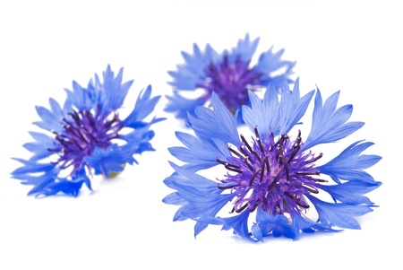 Cornflower  Centaurea cyanus  on white background photo