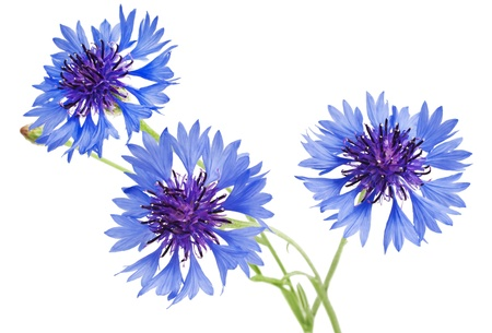 bouquet of cornflowers isolated on white background photo