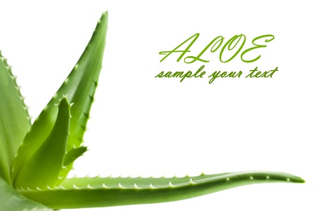 Green leaves of aloe plant close up Standard-Bild