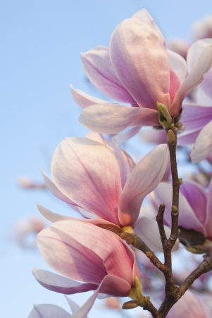 magnolia flowers on clear blue sky photo