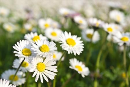 german chamomile: chamomiles meadow, selective focus